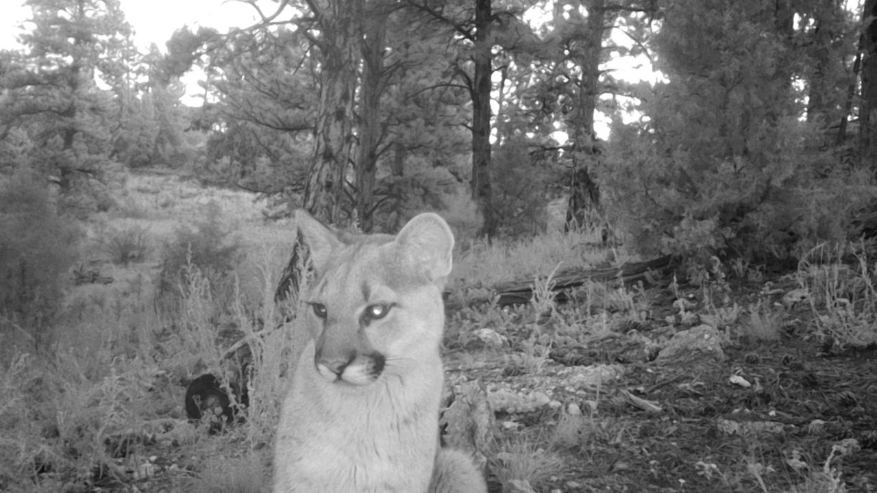 Bailey mountain lion attack