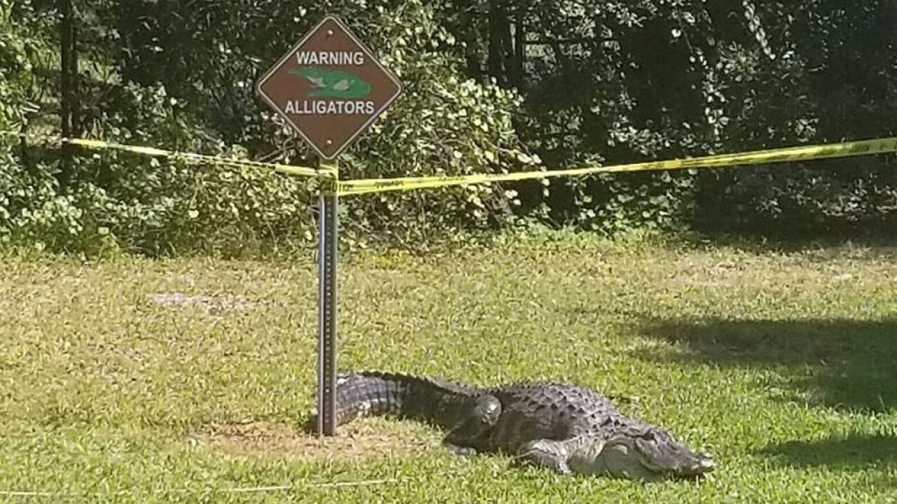 wptv-alligator-near-alligator-warning-sign.jpg