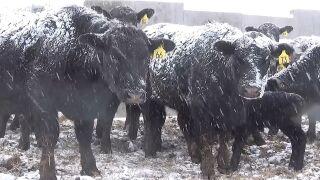 calving in the snow.jpg