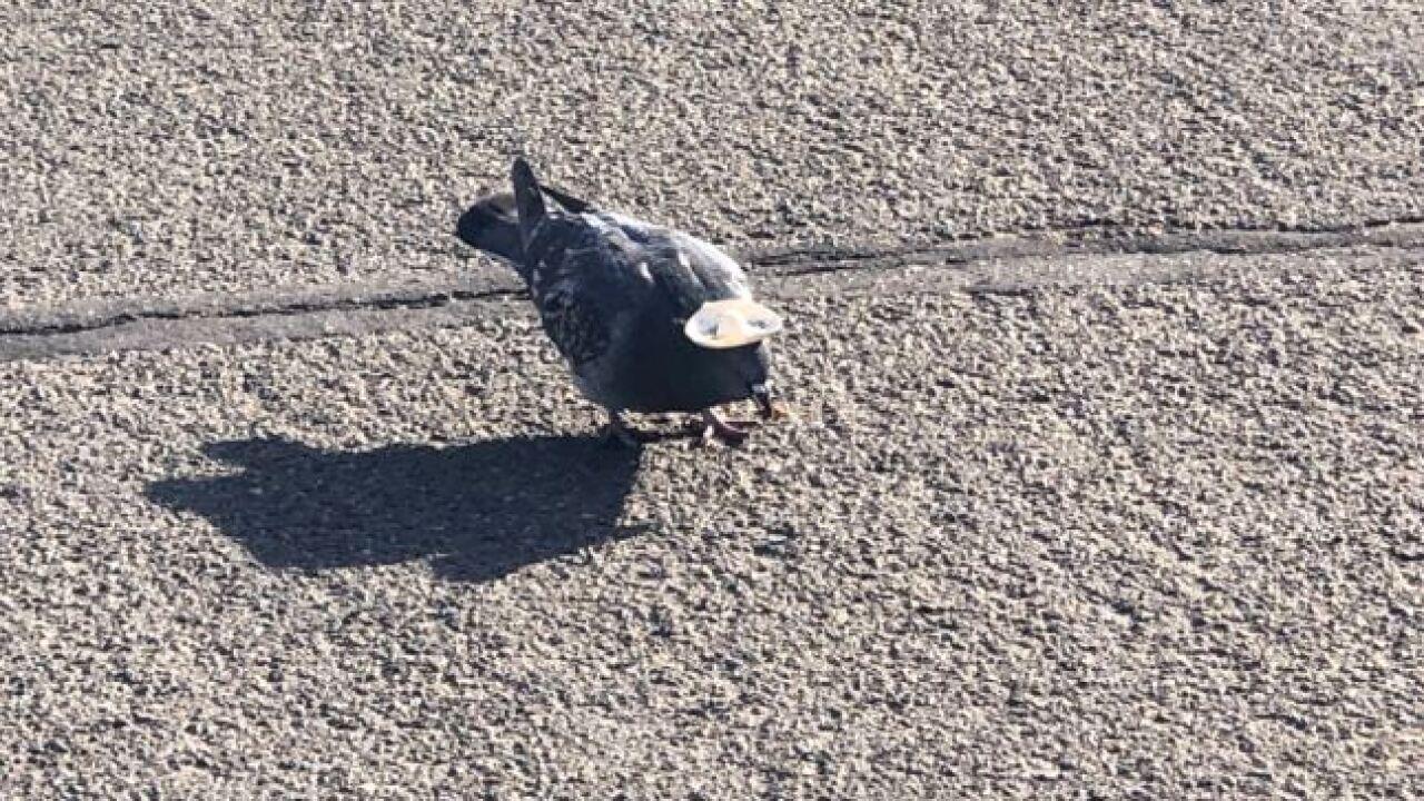 reno pigeons 2.JPG