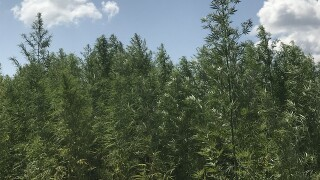 Millions on the table: The potential of industrial hemp in Kansas