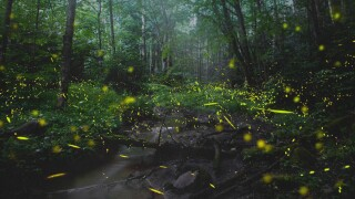 synchronized-fireflies.jpg