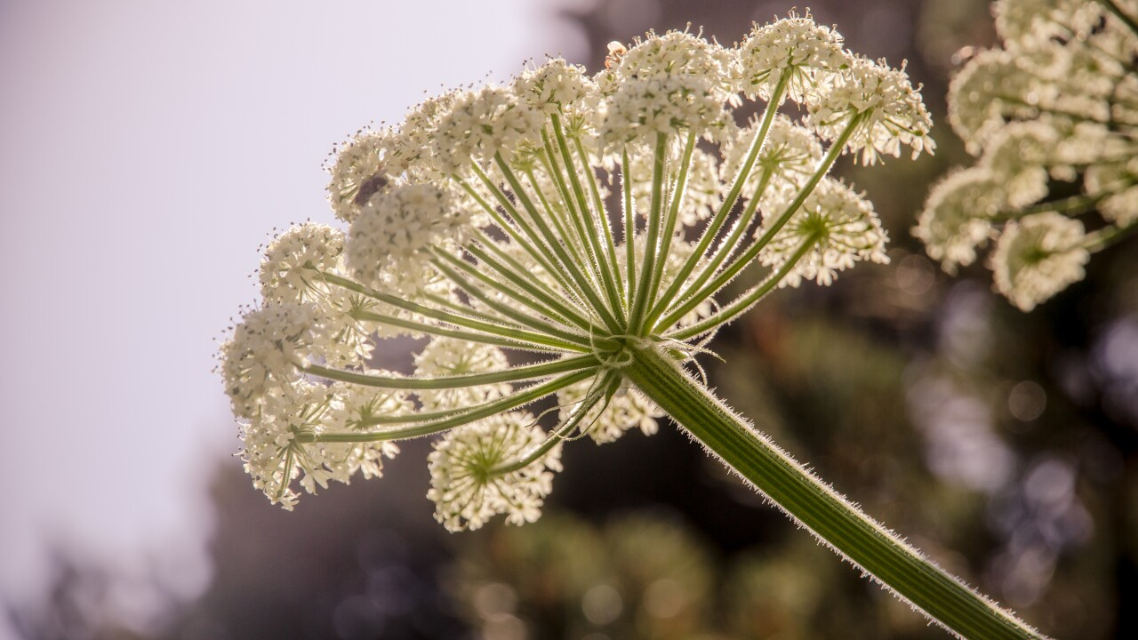 Dangerous Giant hogweed confirmed in Virginia but no evidence of toxic sap spreading