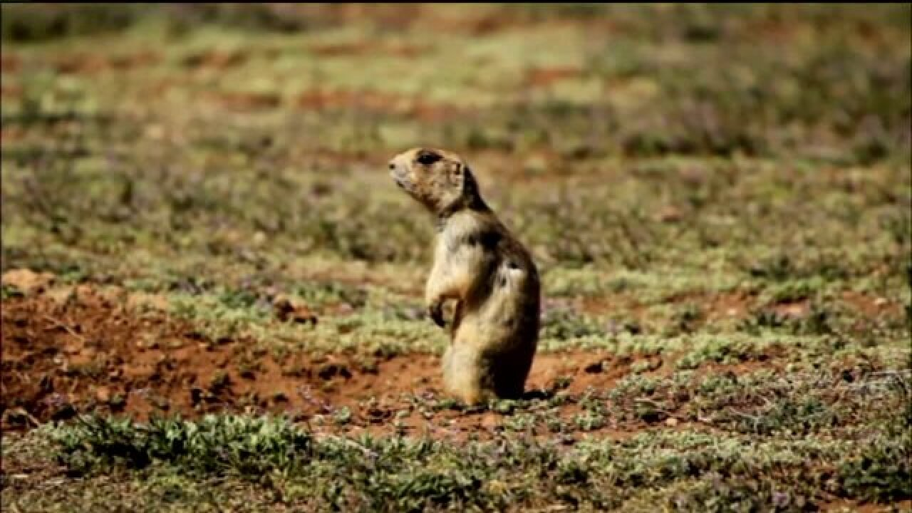 Judge rules prairie dog protection doesn't extend to private property