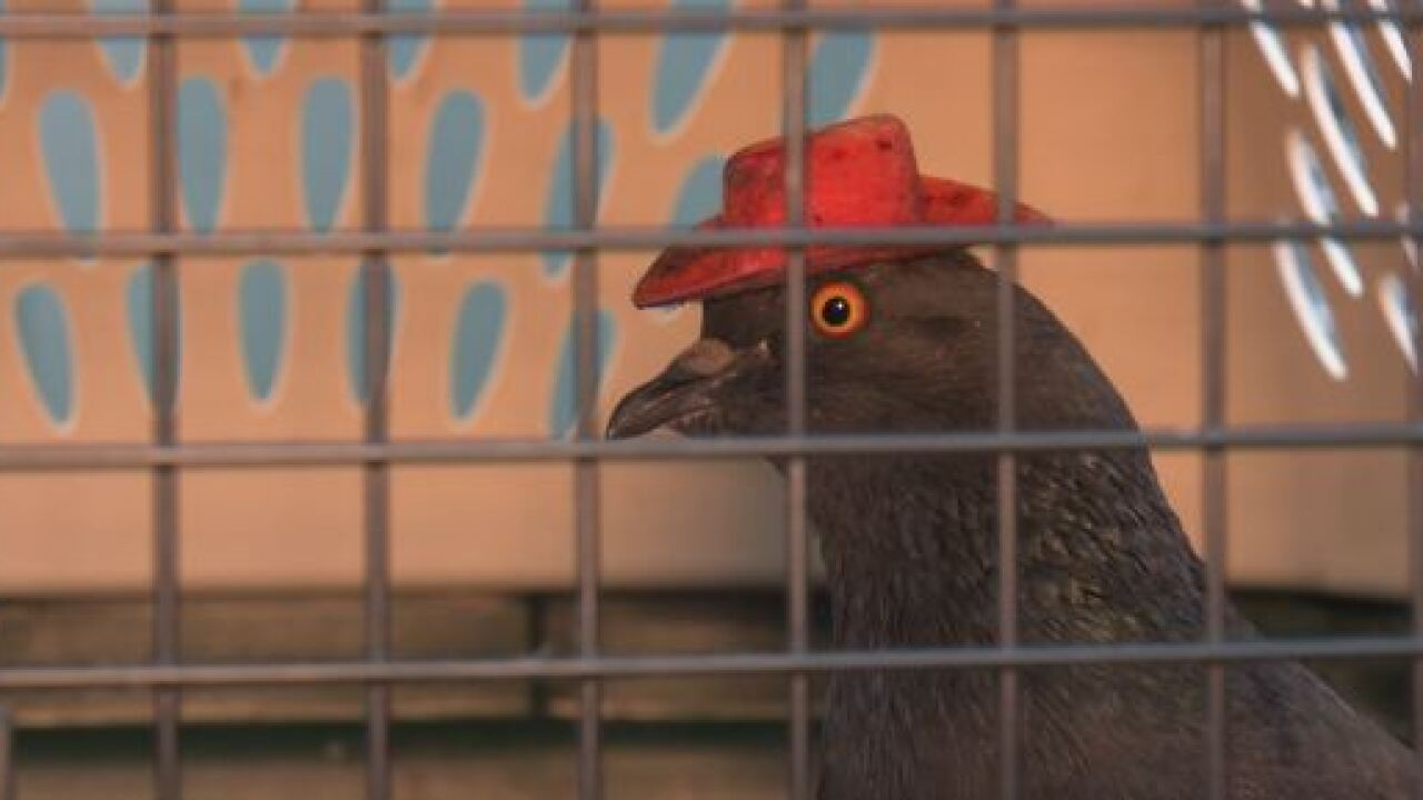 Las Vegas pigeon Cluck Norris caged, Coo-lamity Jane on the loose