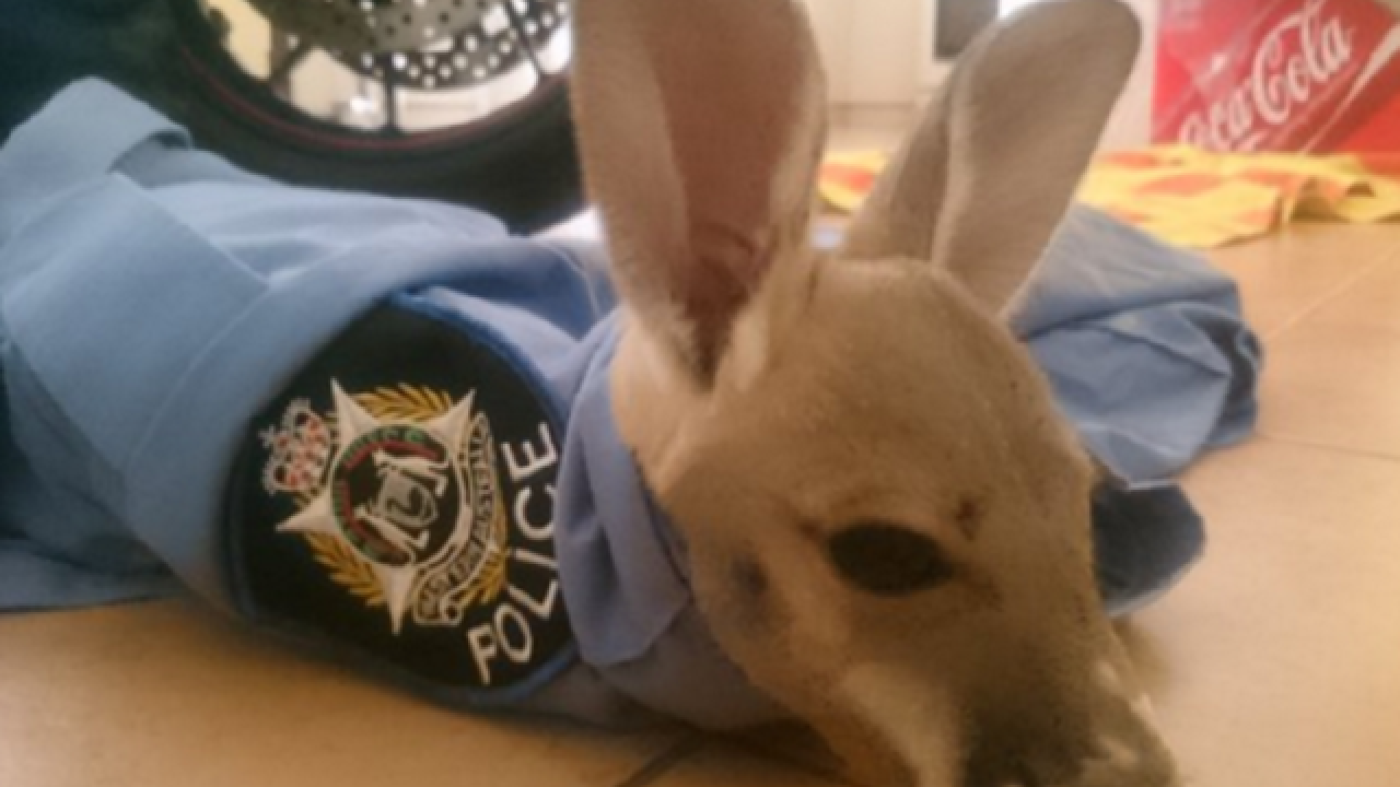 WATCH: Police officer adopts baby kangaroo