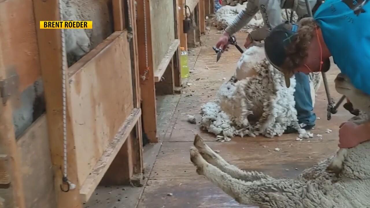 Sheep Shearing in Montana.jpg