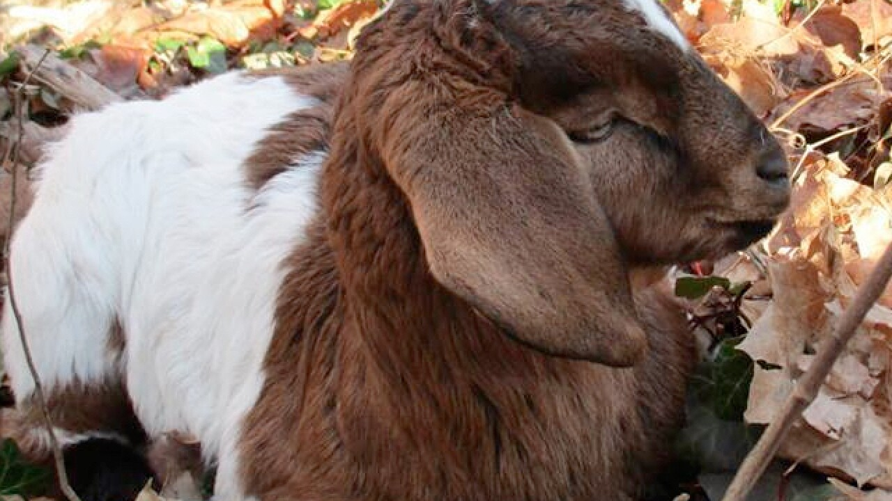 Spring Grove Cemetery goats hurt in dog attack