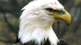 Louisiana's bald eagle population growing
