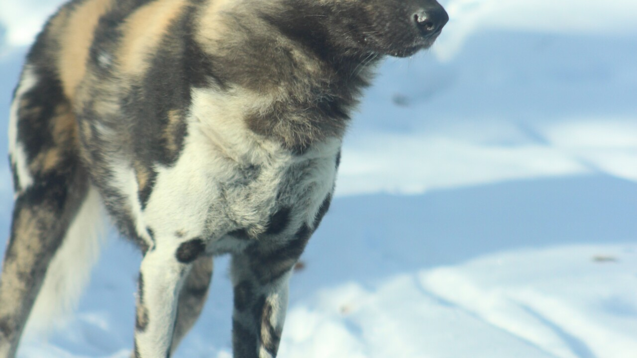 Ghost - African Painted Dogs