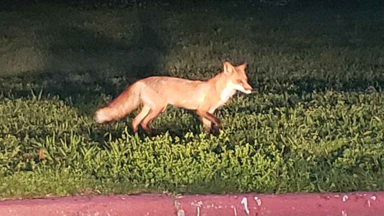 Unfriendly foxes