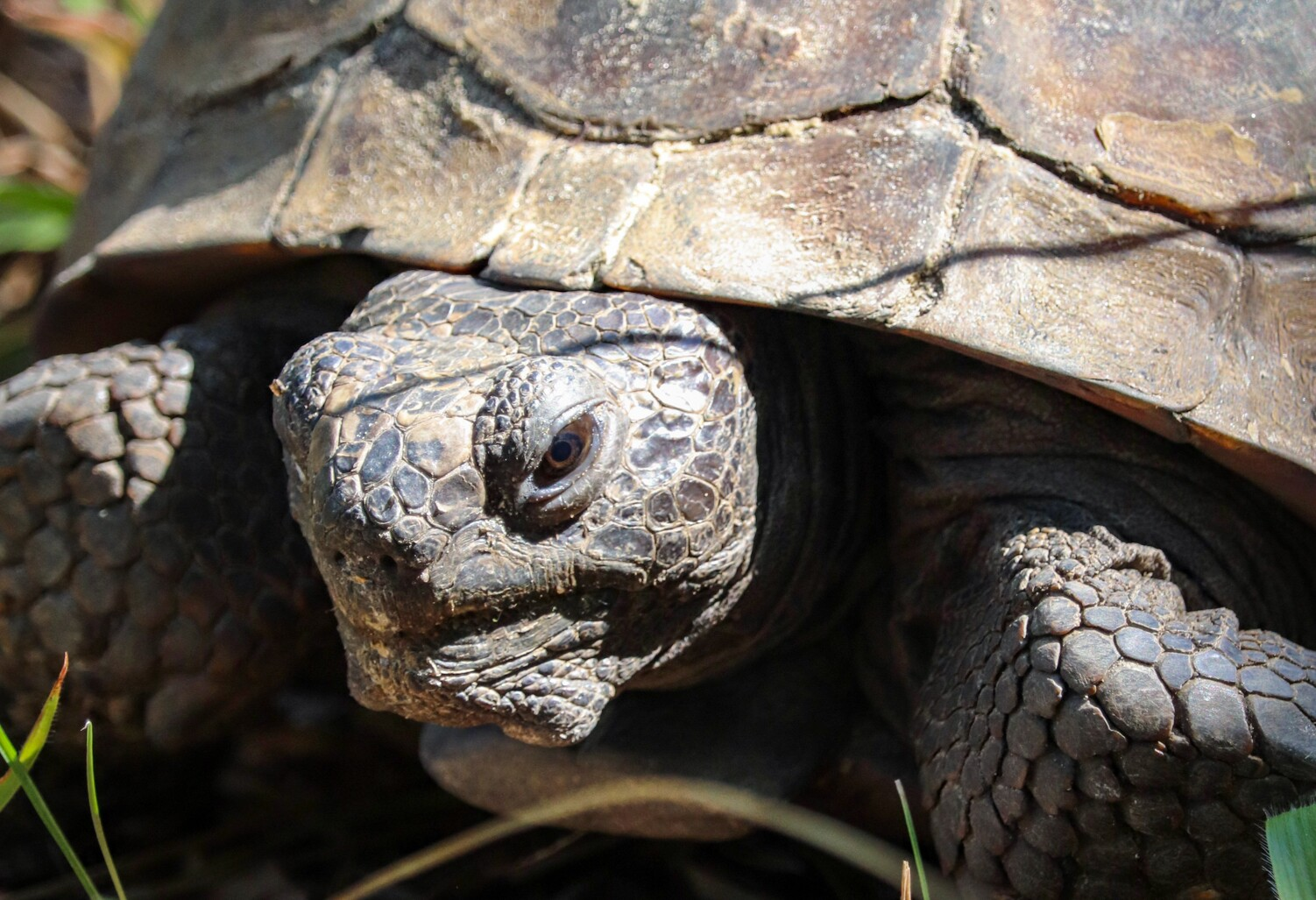 gopher-tortoise.jpg