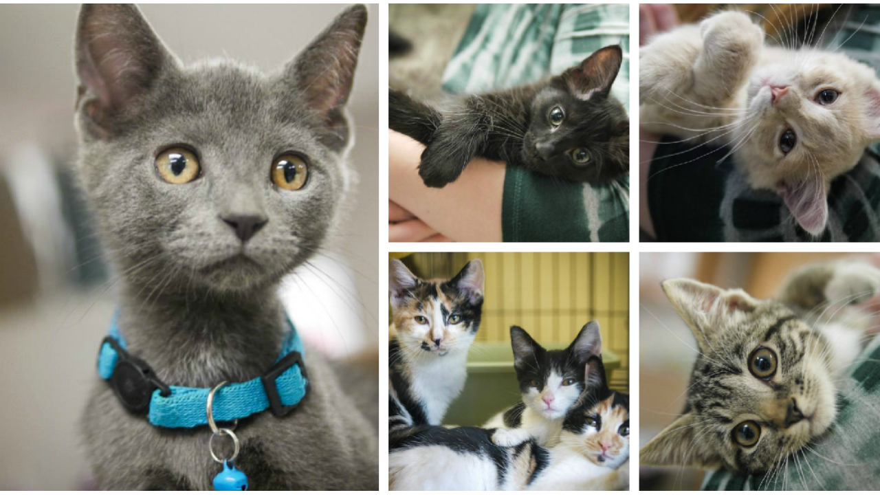 Richmond Animal League in need of foster families for kittens