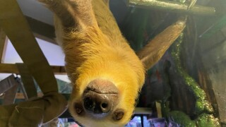 Winston the Sloth makes his debut at ZooMontana
