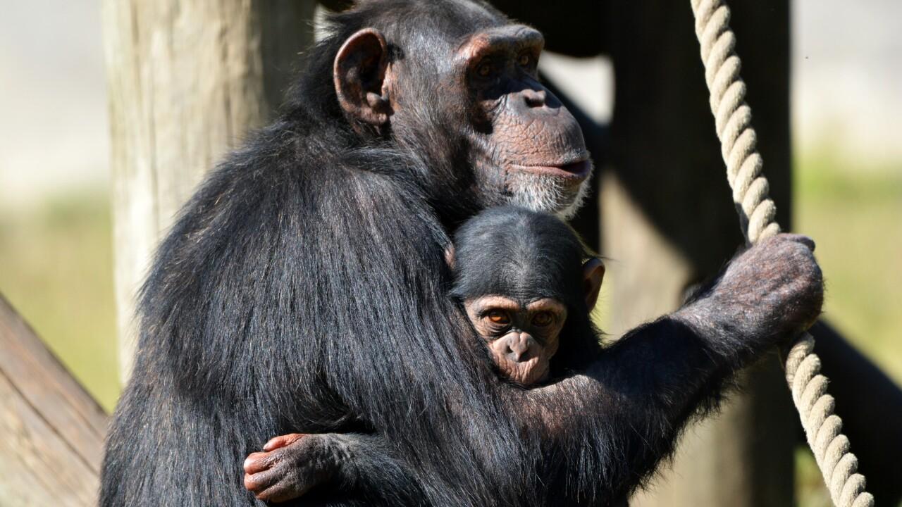 chimpwithbaby.jpg