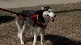 Post on social media of a missing Siberian Husky leads to the hands of the rightful owner