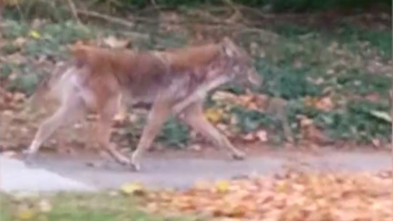 Man captures video of coyote in Whitefish Bay