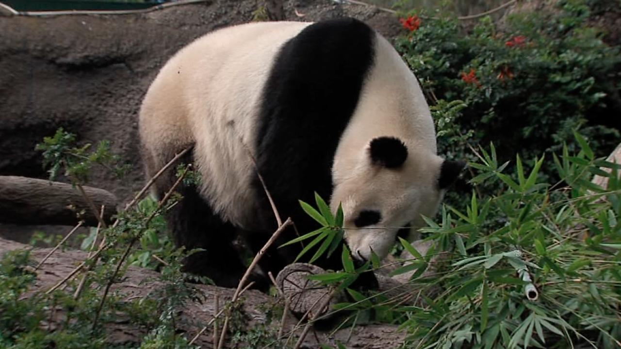 San Diego Zoo hosts three-week goodbye for pandas Bai Yun
