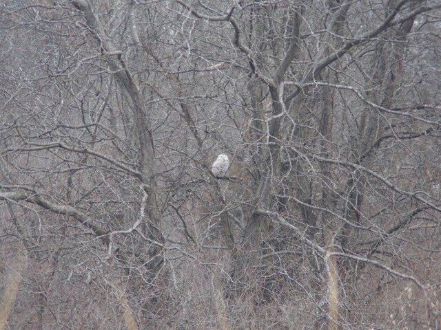 PHOTOS: Rare snowy owl spotted at Smithville Lake