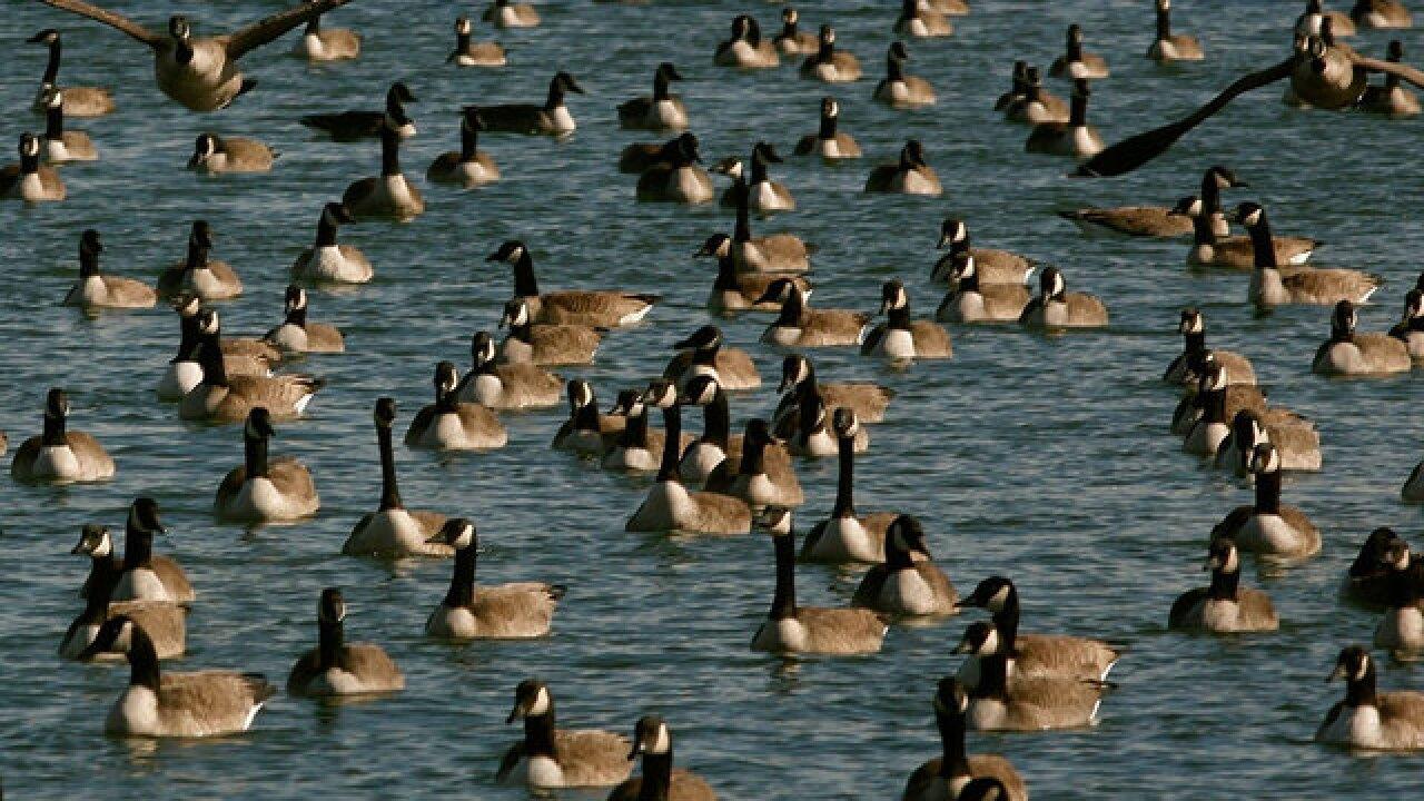 Neighbors say goose kill happened w/ no warning