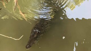 A 7-foot crocodile was swimming in an Ohio creek as elementary school kids played in the water