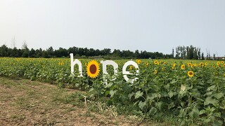 Sunflowers at Maria's Field of Hope bloom early