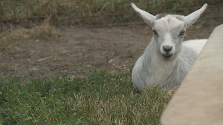 Baby goats returned to Barry County farm