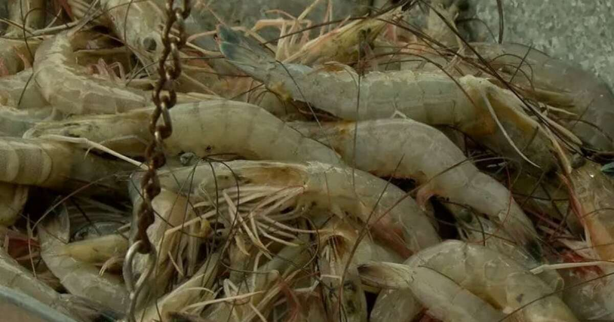 Mississippi shrimp fleet blessed in face of freshwater flood
