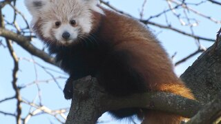 Meet Scarlet: Baby red panda now living in Holtzman Wildlife Foundation Red Panda Forest habitat at Detroit Zoo