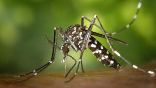 Mosquito (1).jpg
