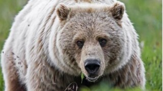 Kalispell woman collides with grizzly on running trail