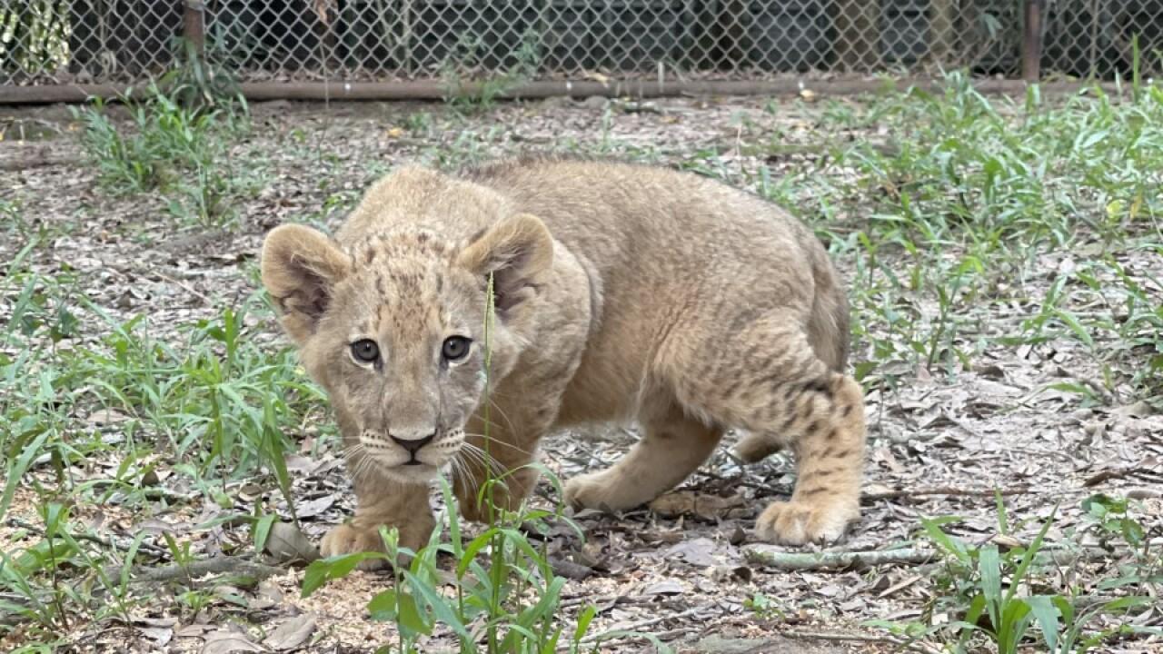 thumbnail_Lion Cubs 3.jpg