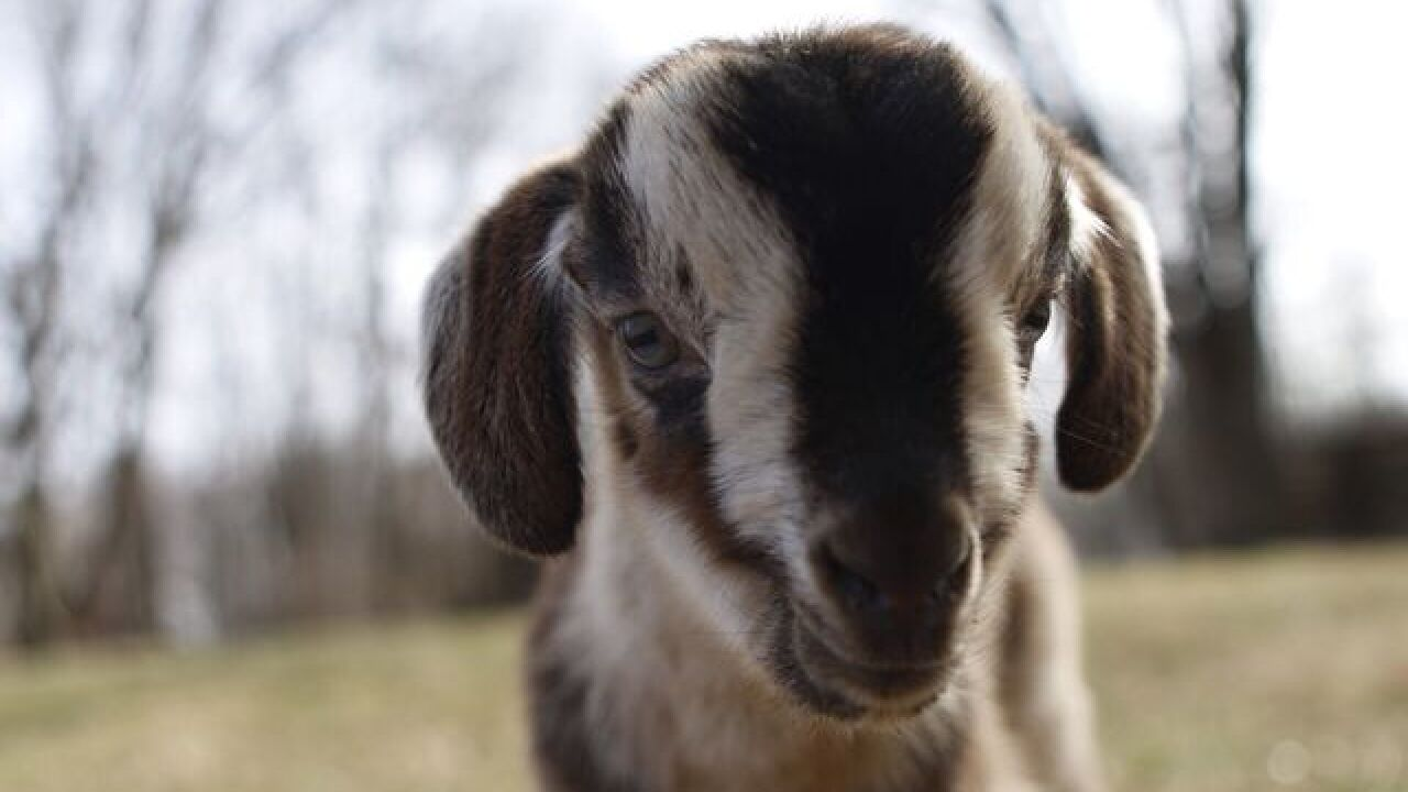 Conner Prairie trying to save rare goat breed