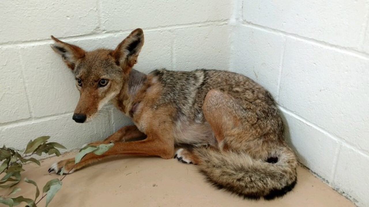 Coyote rescued from plastic tubing released