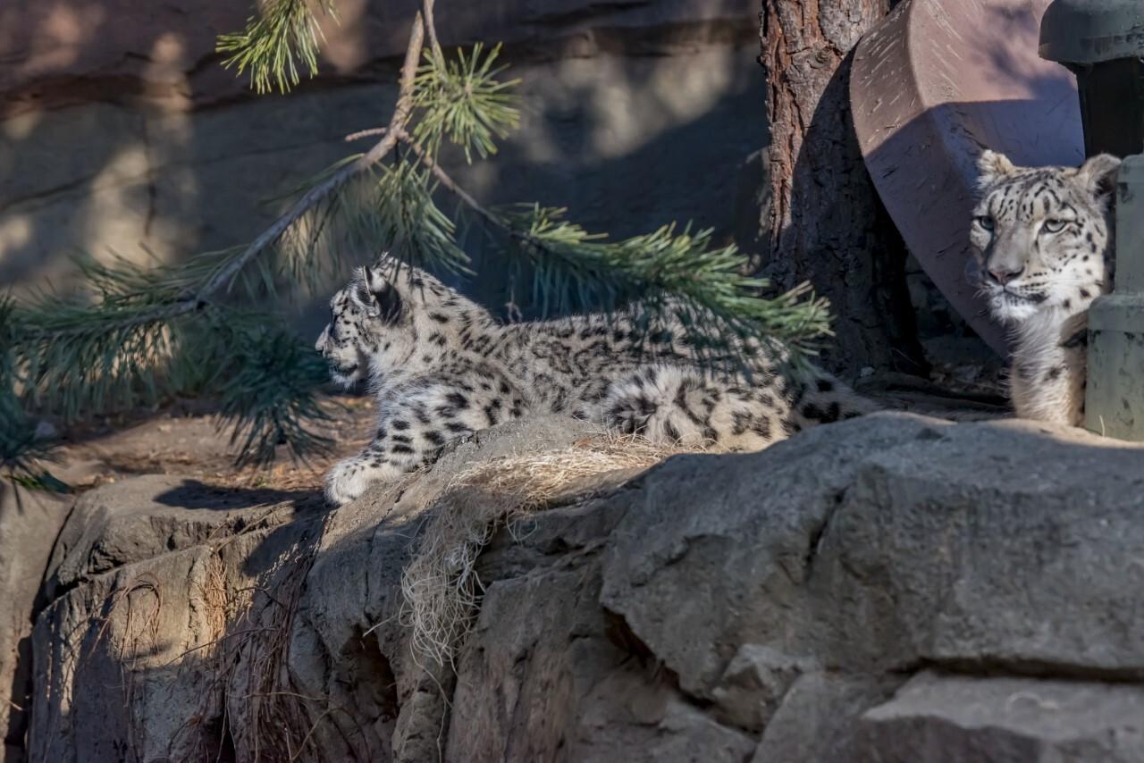 thumbnail_Snow Leopard Milja 11-2020-0100192 E.jpg