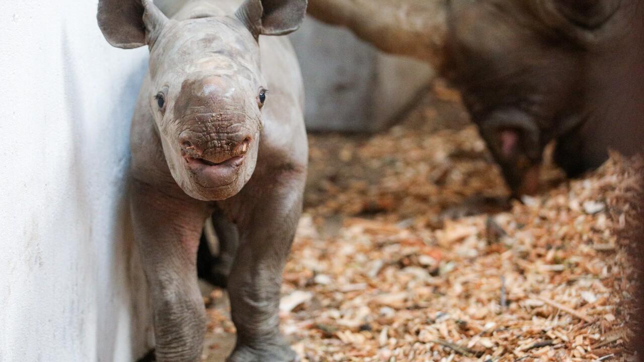 potter park zoo black rhino calf 10.JPG
