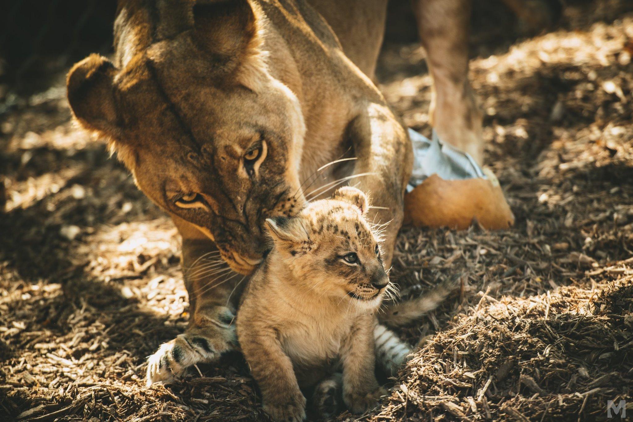 Lion Cub_4_Molly McCormick.jpg
