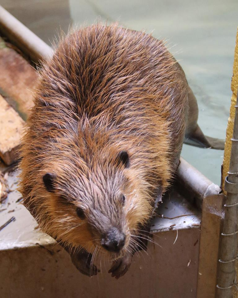 Photos: Ogden wildlife center prepares to release orphan beaver back into thewild