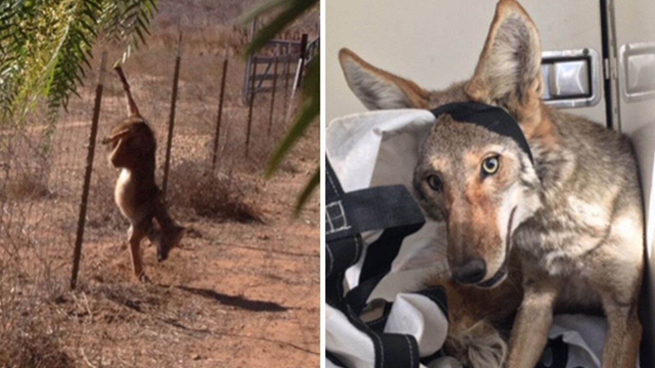 Animal services rescue upside-down coyote caught on Ramona fence
