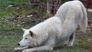 Wolf Downward Dog - Patti Truesdell.jpg