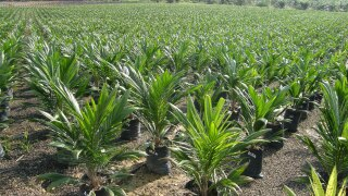 Palm oil nursery in Borneo
