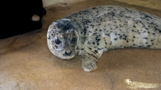 Wisconsin zoo's harbor seal Sydney dies days after giving birth to pup