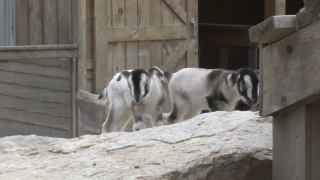 Zoo Goats.png