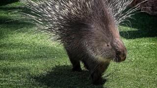 Kumari Phoenix Zoo porcupine.jpg