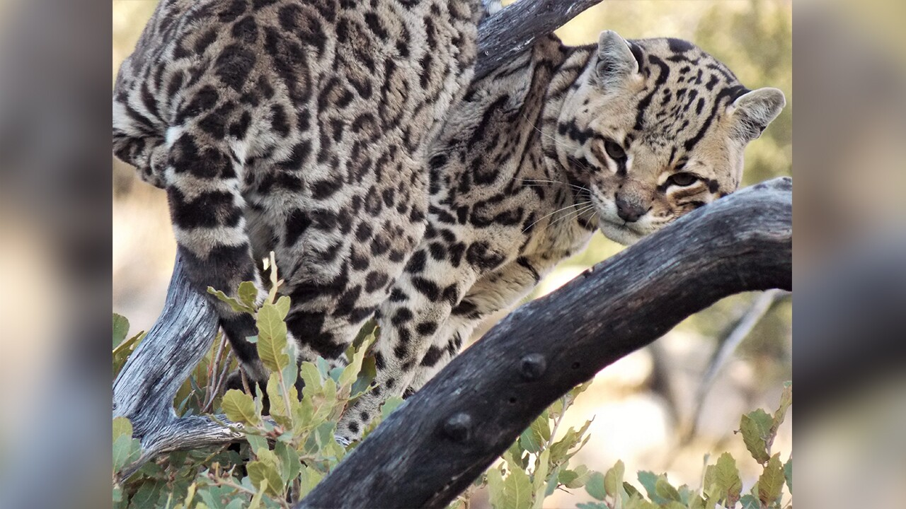 This file photo shows an ocelot spotted in southern Arizona mountain ranges