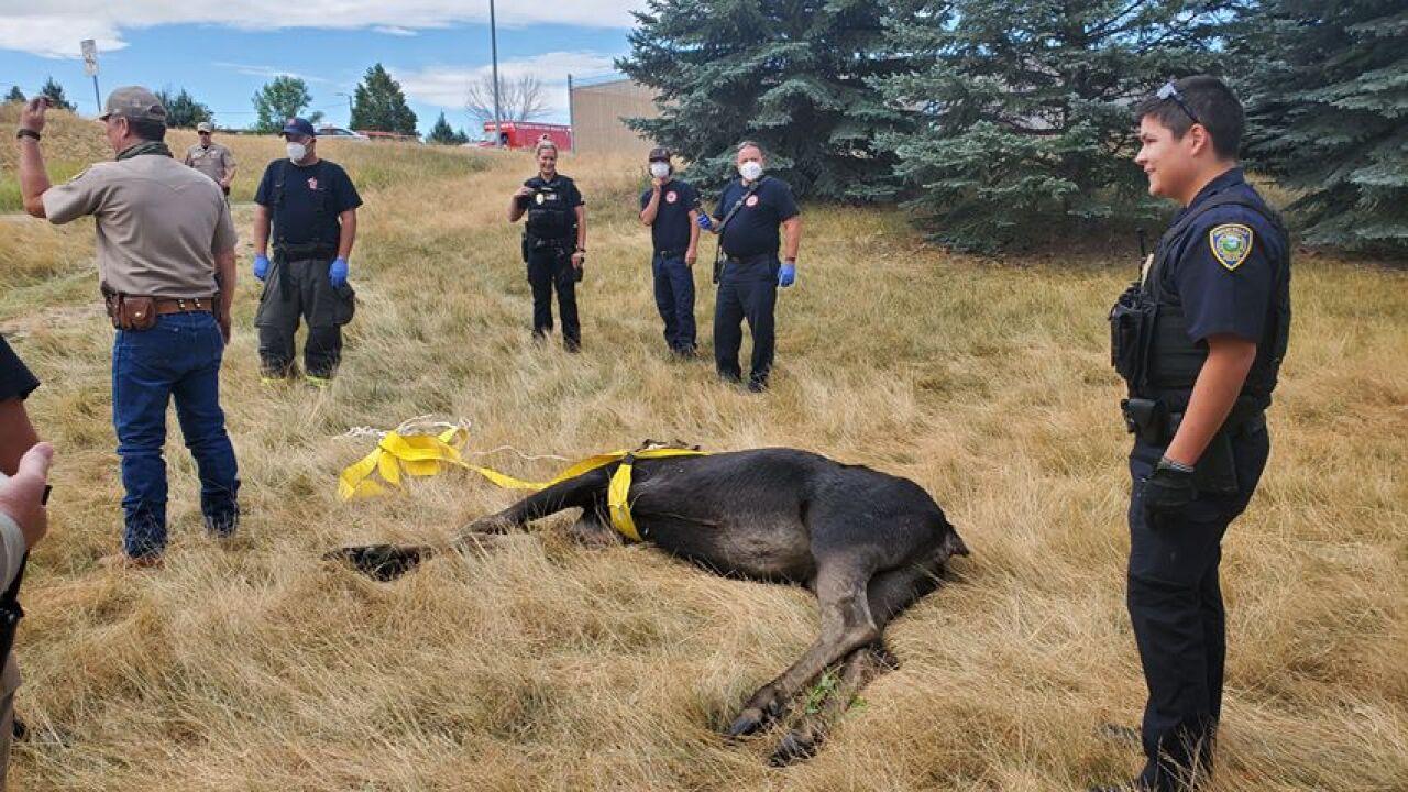Moose captured in Great Falls, released in Little Belts