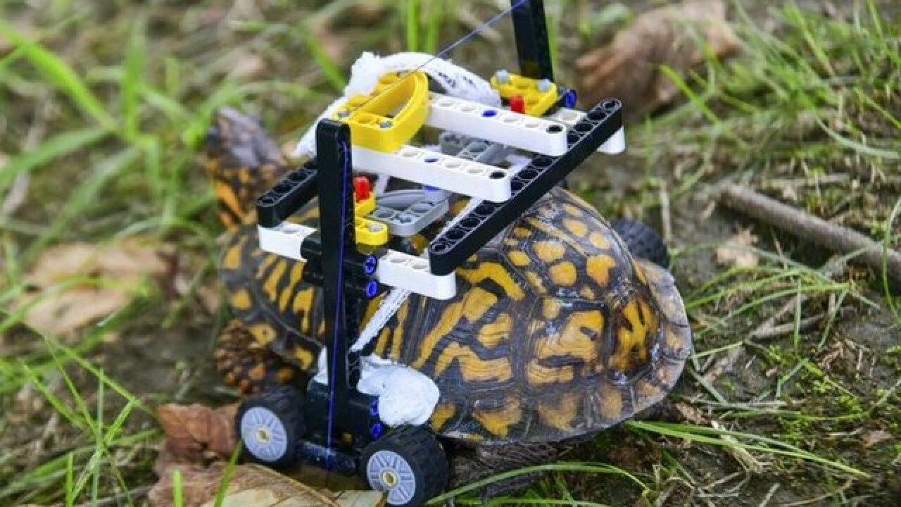 Injured turtle gets around with help of Legos