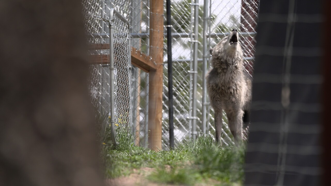 The debate behind taking gray wolves off the endangered species list