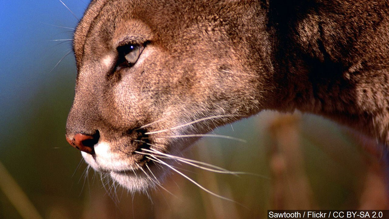 Possible mountain lion sighting reported in Butte