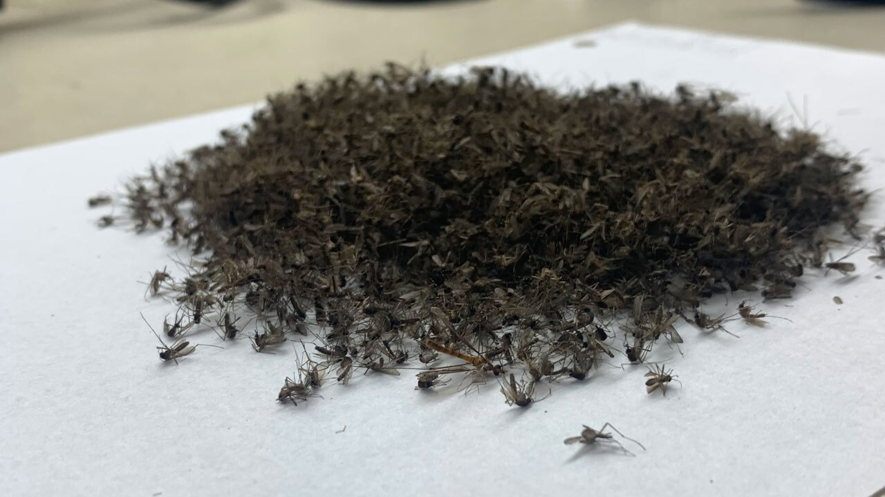 Mosquitoes collected in Belle Glade in October 2021